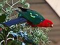 Australian KIng Parrot (27594140254).jpg