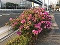 Azalea flowers 20190412-2.jpg