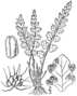 BB-0024 Woodsia alpina.png