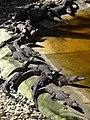 Baby Crocodiles - Playa y Laguna La Ventanilla - Oaxaca - Mexico - 01 (6522977079).jpg
