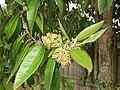 Backhousia citriodora F.Muell. (AM AK315443-1).jpg