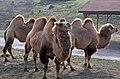 Bactrian camel (2917597794).jpg