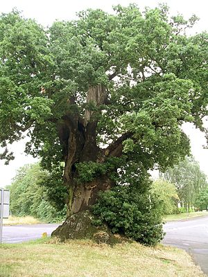 Quercus robur - An old English oak in Baginton, England