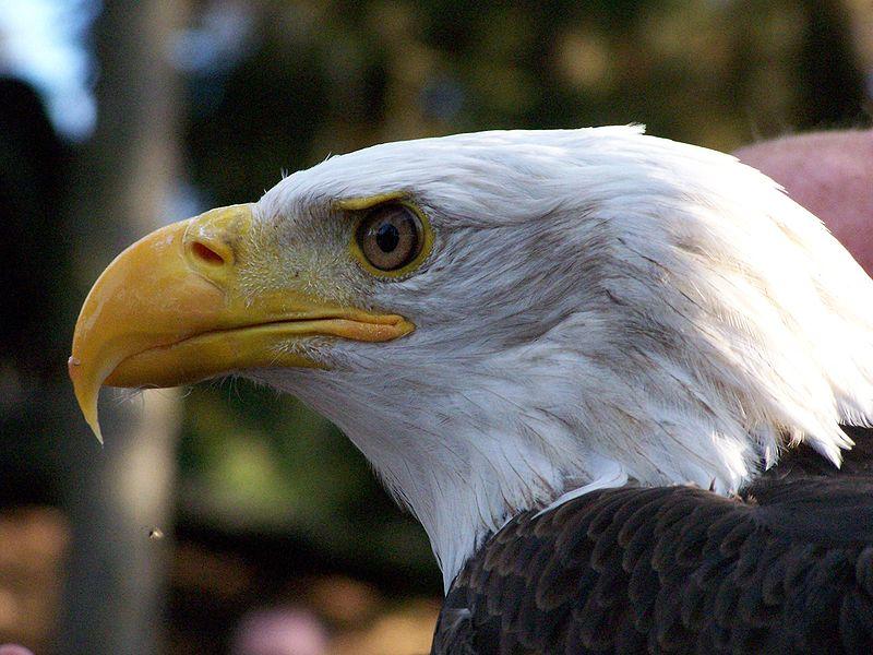 File:Bald Eagle.JPG