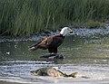 Bald Eagle with Chum Salmon up the creek (41628812690).jpg