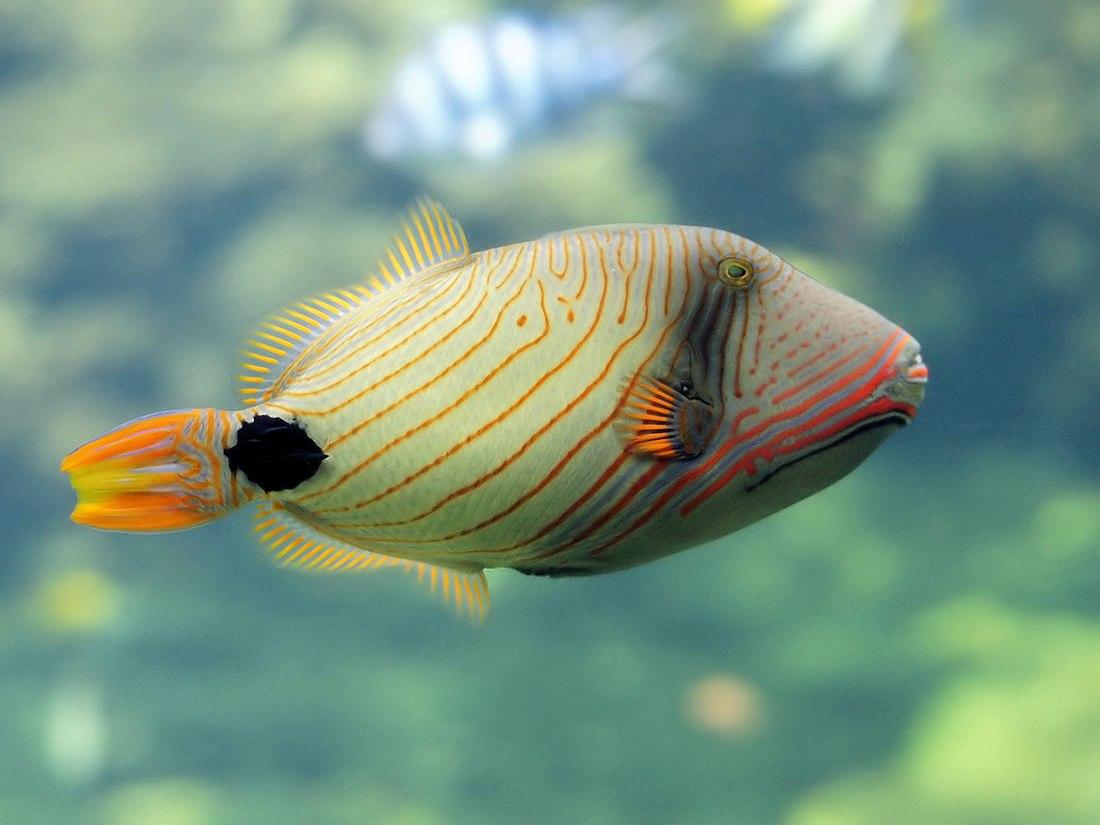 Balistapus undulatus (Nausicaä).jpg