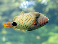 Balistapus undulatus (Nausicaä)