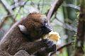 Bamboo lemur Prolemur simus (15881777476).jpg