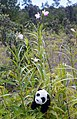 Bamboo orchids are pretty, but they are an invasive species on Hawaii that drives out natives. Luckily, Pandy the Bear knows how to deal with bamboo. Munch, munch. (28331926540).jpg