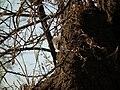 Banded Mangoose Mungos mungo in Tanzania 3456 Nevit.jpg