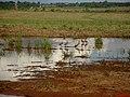 Bando de paturi ou irerê (Dendrocygna viduata) em água represada da chuva após o corte do canavial ao lado da Rodovia vicinal Motuca - Matão. - panoramio (1).jpg