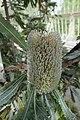 Banksia serrata in INBG Glasnevin Dublin 01.jpg