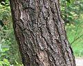 Bark of Cinnamomum camphora 2.jpg