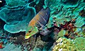 Barred Thicklip (Hemigymnus fasciatus) (8480361784).jpg