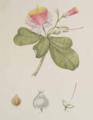 Barringtonia asiatica illustration.png