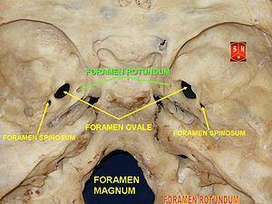 Foramen rotundum - Image: Base of skull 13
