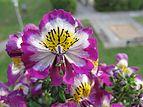 Bauernorchidee - Schizanthus wisetonensis 02.jpg