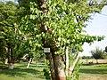 Bauhinia hurpuria tree called Katchnar in Urdu - panoramio.jpg