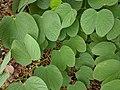 Bauhinia purpurea 29.jpg
