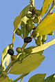 Bay laurel - Defne - Laurus nobilis.jpg