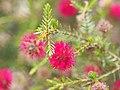 Beaufortia purpurea (leaves, flowers).JPG