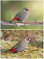 Beautiful Firetail couple.jpg