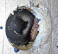 Bedbug with eggs.jpg