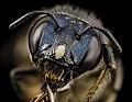 Bee ceratina monster, f, ukraine, face 2014-08-09-12.33.42 ZS PMax (15068816101).jpg
