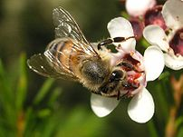 Honey bee on Geraldton Wax Flower, NSW, Australia