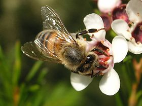 Bee on Geraldton Wax Flower.JPG