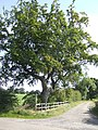 Beech tree by Mill Lane - geograph.org.uk - 532794.jpg