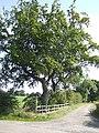 Beech tree by Mill Lane - geograph.org.uk - 532794.jpg