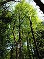 Beech trees near Underhill - geograph.org.uk - 795017.jpg