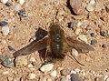 Beefly Bombyliidae (33380470456).jpg