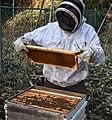 Beekeeper with moveable comb hive.jpg