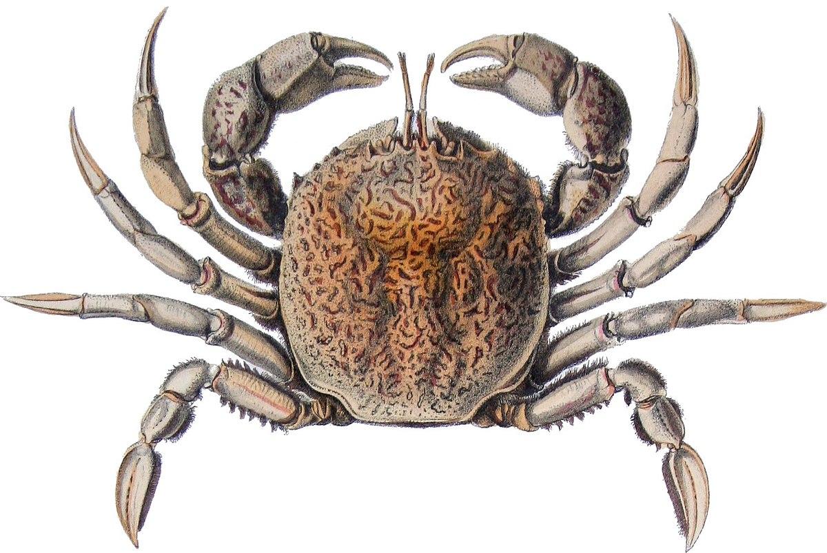 belliidae wikipedia
