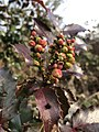 Berberis aquifolium 114989816.jpg