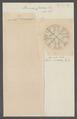 Berenix cuviera - - Print - Iconographia Zoologica - Special Collections University of Amsterdam - UBAINV0274 110 17 0013.tif
