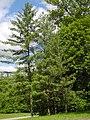 Bergpark Wilhelmshöhe - Baum 282a 2019-05-12.JPG
