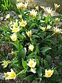 Berne botanic garden Tulipa kaufmanniana2.jpg