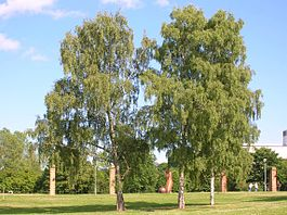 Betula Pendula at Stockholm University 2005-07-01.jpg