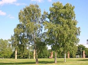 Betula pendula, Birch tree.