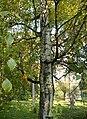 Betula pendula (25).JPG