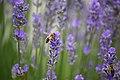 Bienen lavendel lebenswertes chemnitz.JPG