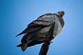 Big bird (2112159933).jpg