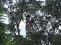 Bird Malabar Pied Hornbill Anthracoceros coronatus IMG 2108 05.jpg