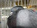 Birds exhibition - Cluj-Napoca - pigeons (3187992339).jpg