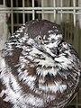Birds exhibition - Cluj-Napoca - pigeons (3188740728).jpg