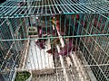 Birds in cage for sale at Jatinegara Market.jpg