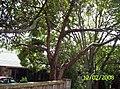 Bischofia javanica Blume (AM AK301758-2).jpg